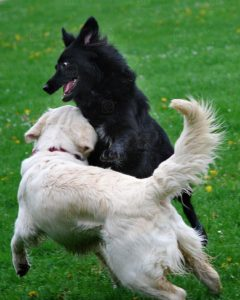 dogs play biting each other