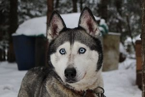 husky facts for kid