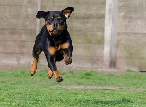 Are rottweilers aggressive